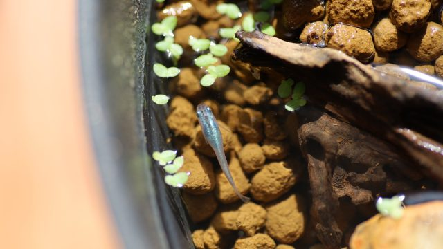睡蓮鉢を泳ぐブルームーン